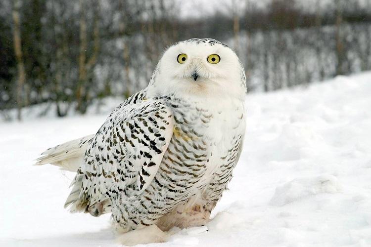 Картинки полярной совы в тундре 022