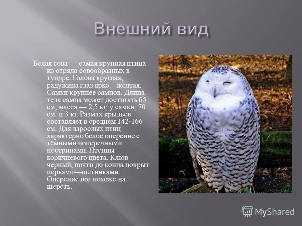 Картинки полярной совы в тундре 023