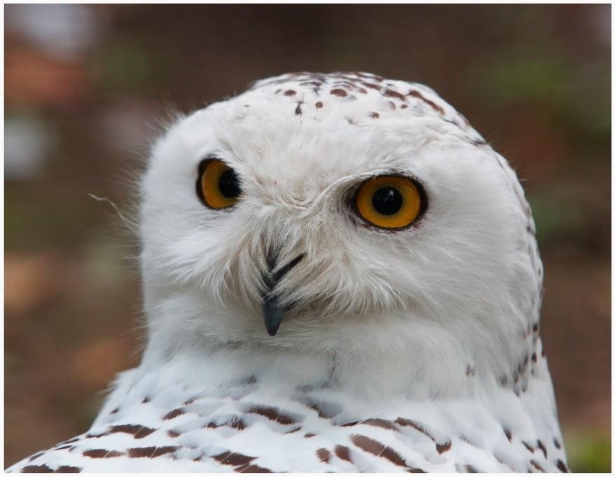 Картинки полярной совы в тундре 024