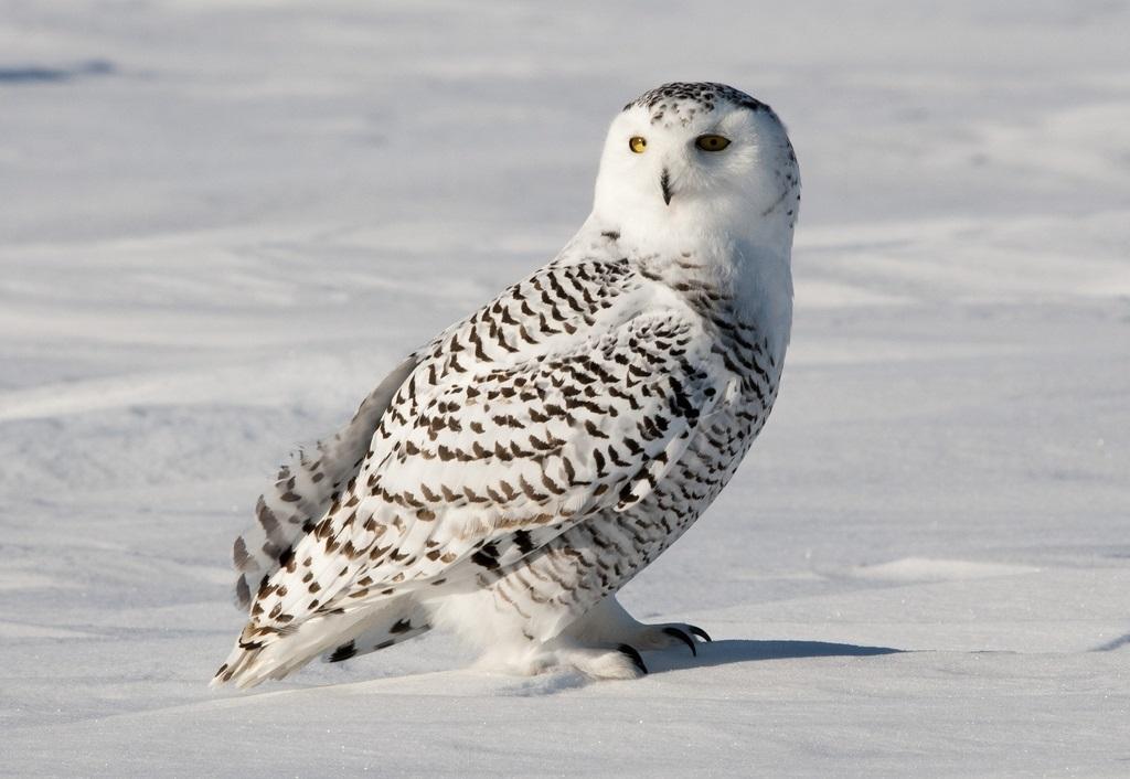 Картинки полярной совы в тундре 025