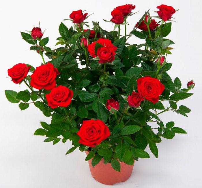 Норвежская роза   подборка фотографий (1)