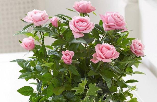 Норвежская роза   подборка фотографий (12)