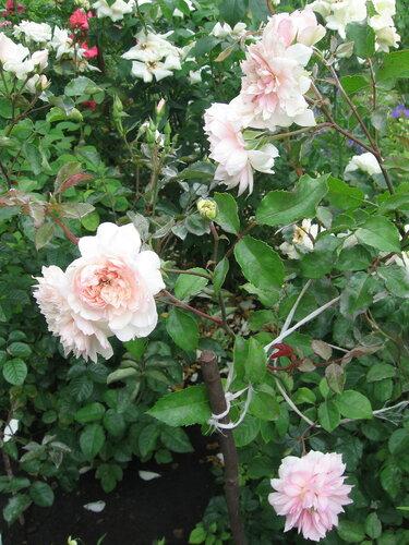 Норвежская роза   подборка фотографий (2)
