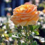 Норвежская роза — подборка фотографий