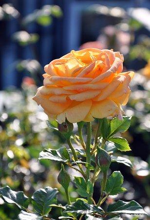 Норвежская роза   подборка фотографий (3)