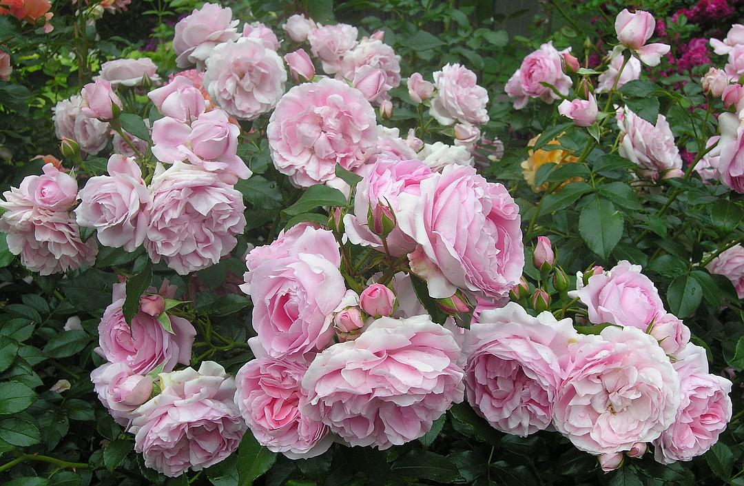 Норвежская роза   подборка фотографий (6)