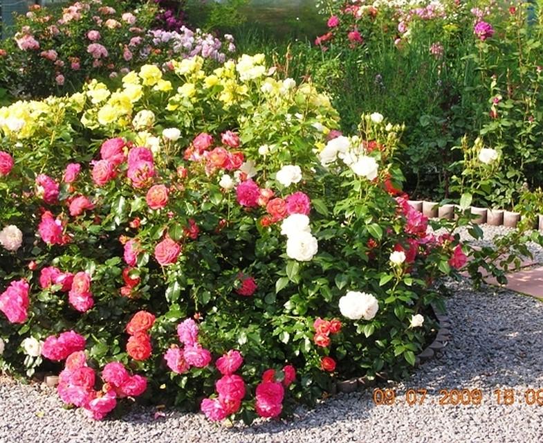 Норвежская роза   подборка фотографий (7)