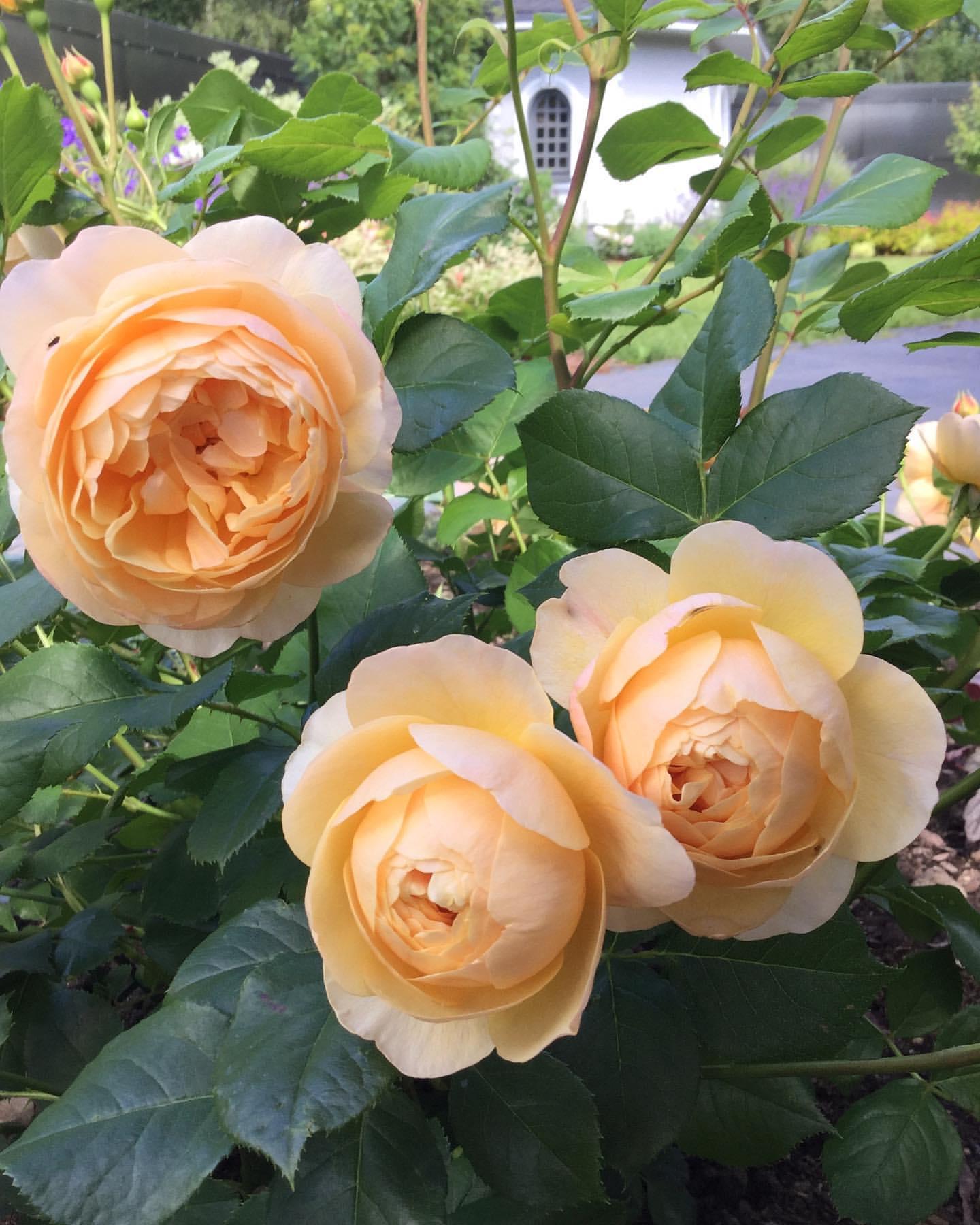 Норвежская роза   подборка фотографий (8)
