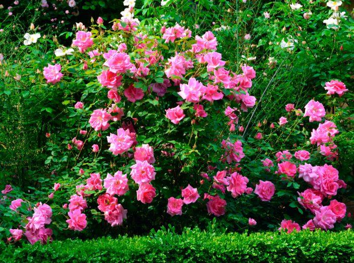 Норвежская роза   подборка фотографий (9)