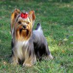 Порода собачки с хвостиком на голове — милые фото
