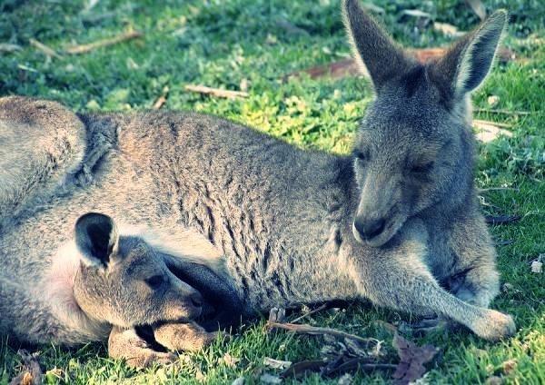 Картинка с кенгуру с малышом и мамой