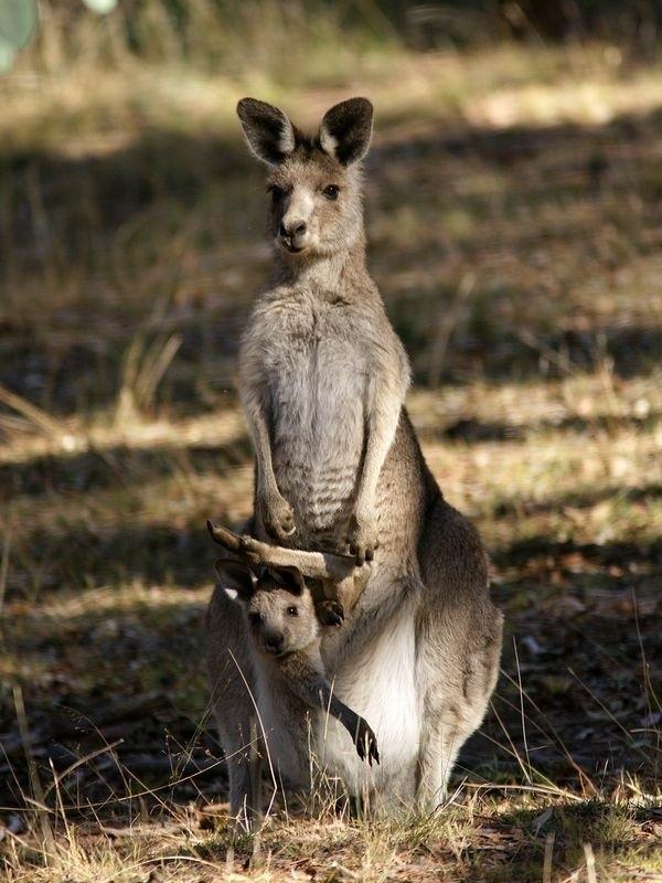 представитель картинка с кенгуру с малышом и мамой что прошу