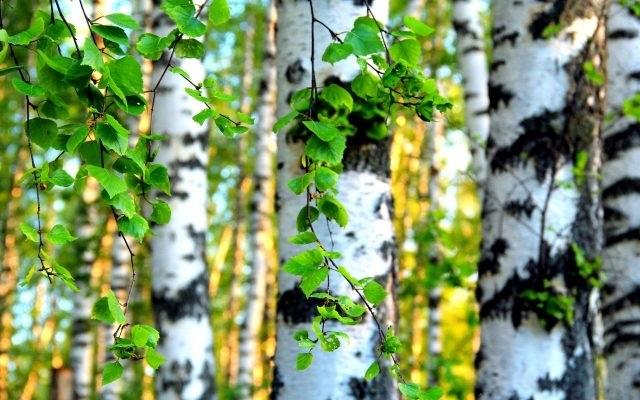 Фото леса летом в хорошем качестве 017