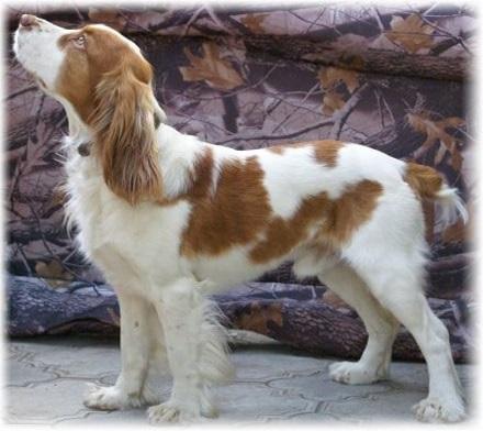 Фото русский спаниель щенки 3 месяца 003