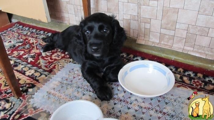 Фото русский спаниель щенки 3 месяца 013