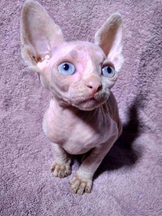 Фото сфинкса с голубыми глазами 005