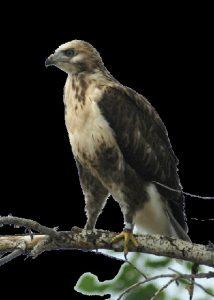 Фото хищных птиц России 011