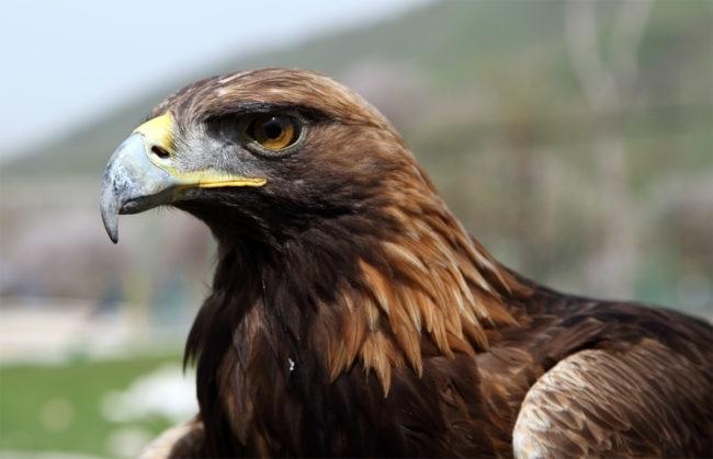 Фото хищных птиц России 012