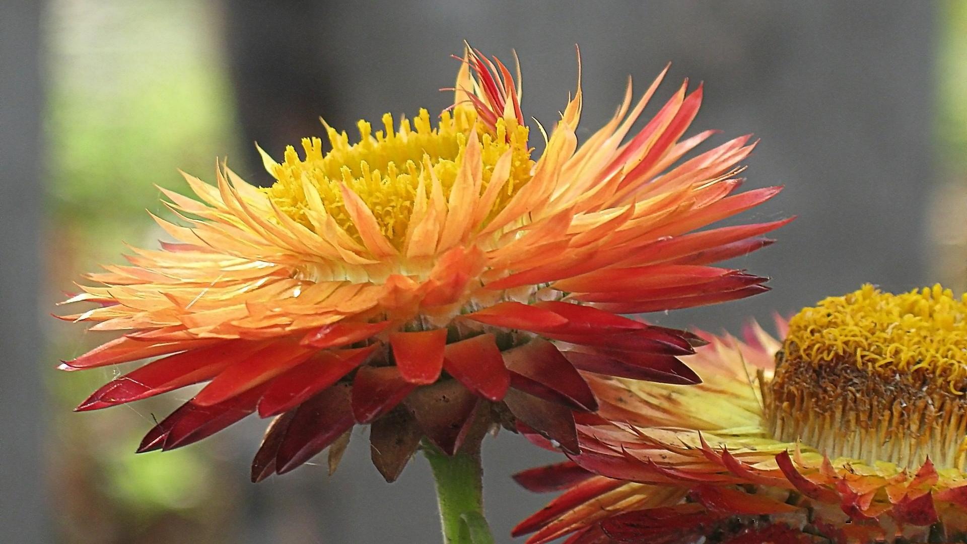 Обои для рабочего стола осенние цветы   скачать бесплатно (14)