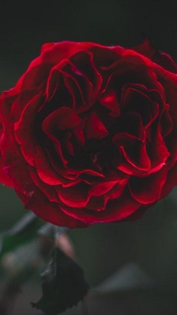Обои красные розы на айфон 23 40 001