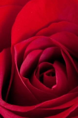 Обои красные розы на айфон 23 40 002