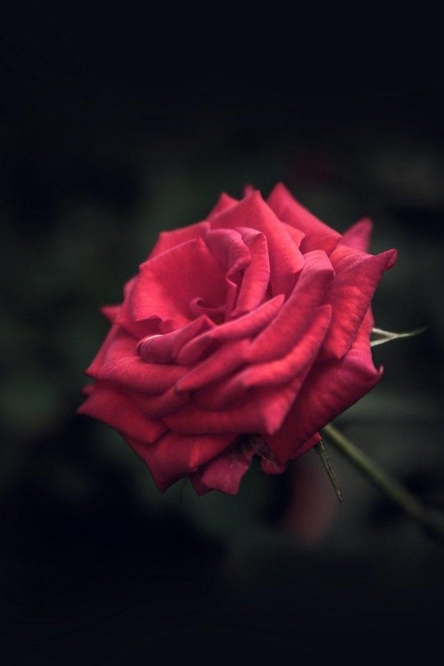 Обои красные розы на айфон 23 40 009