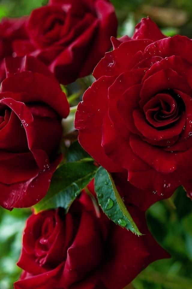 Обои красные розы на айфон 23 40 014