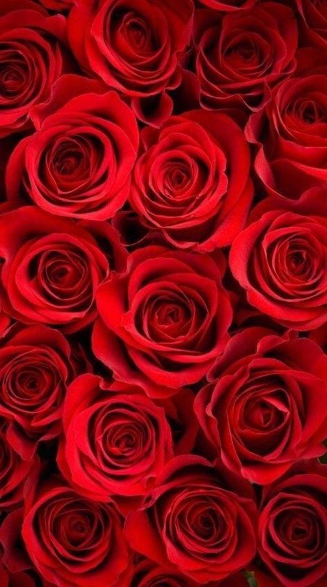 Обои красные розы на айфон 23 40 015