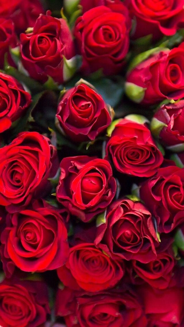 Обои красные розы на айфон 23 40 021