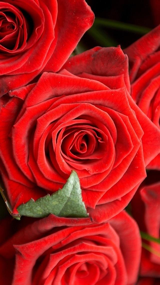 Обои красные розы на айфон 23 40 023
