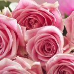 Обои роз на айфон
