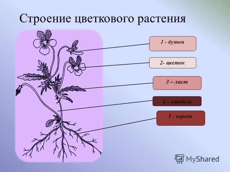 рожденная внешнее строение растения картинки интересен