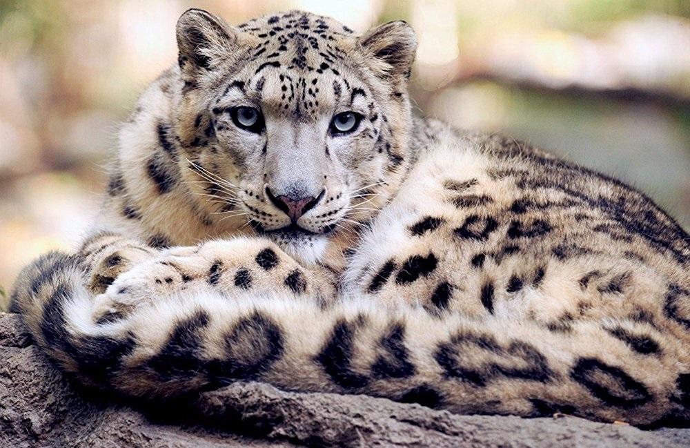 Международный день снежного барса (International Snow Leopard Day) 017