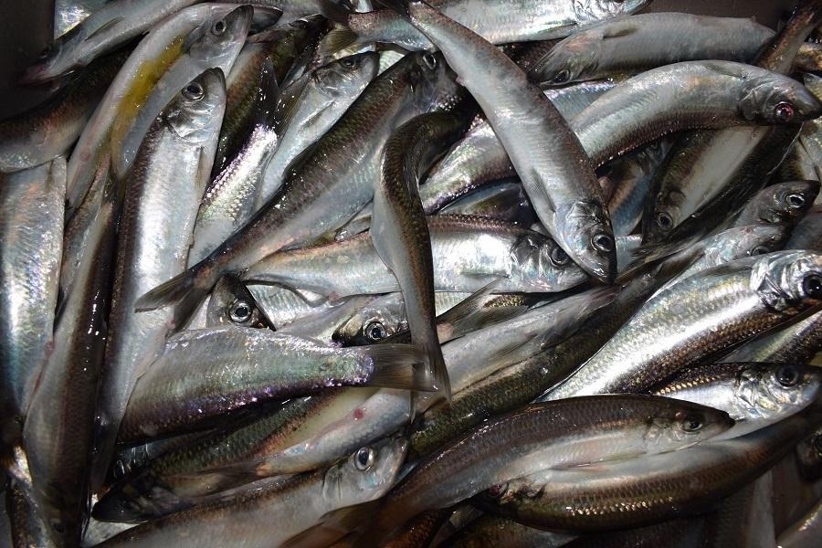 Национальный день сардин (National Sardines Day) (США) 002