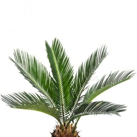 Пальма в пнг картинки 003