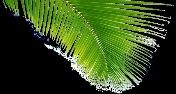 Пальма в пнг картинки 011