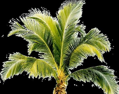 Пальма в пнг картинки 014