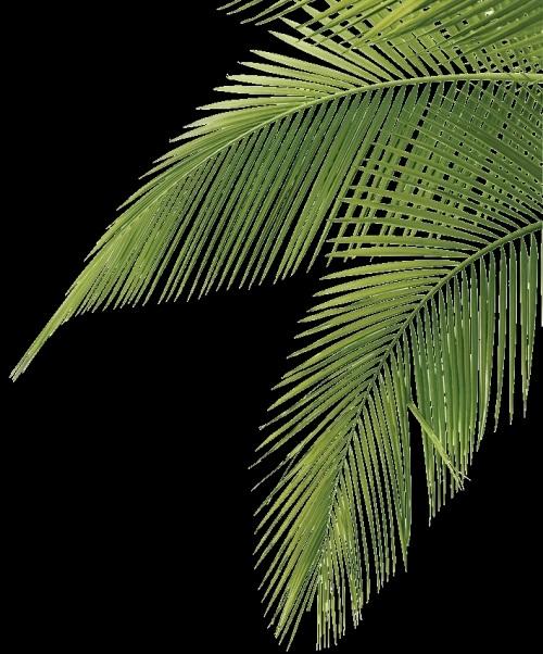 Пальма в пнг картинки 016