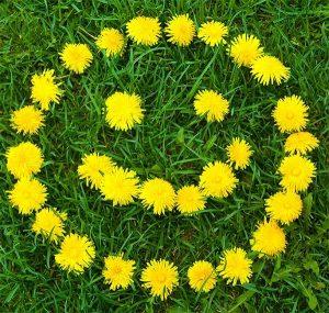 Удивительные картинки одуванчики цветы 020