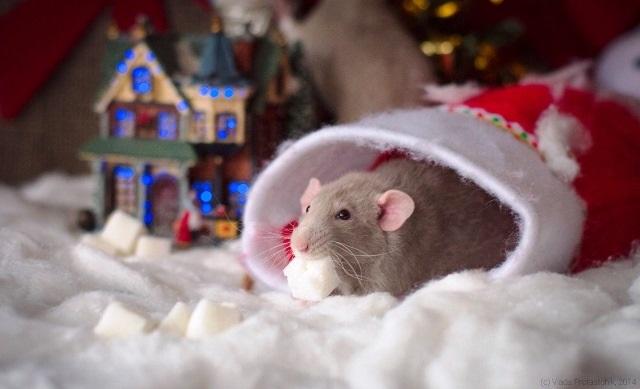 картинки праздника новый год крысы 020