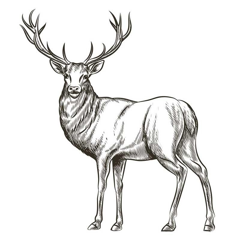 картинки с оленями для срисовки 003