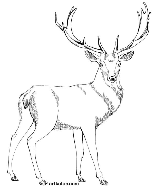 картинки с оленями для срисовки 014