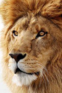 лев обои на айфон 6 018