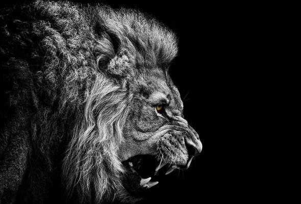 обои льва на айфон 6 003
