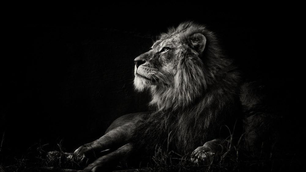 обои льва на айфон 6 005