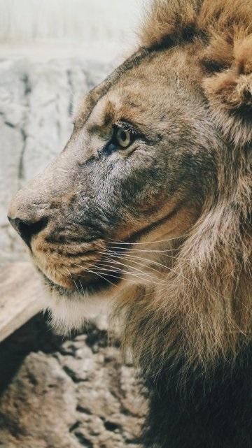 обои льва на айфон 6 006
