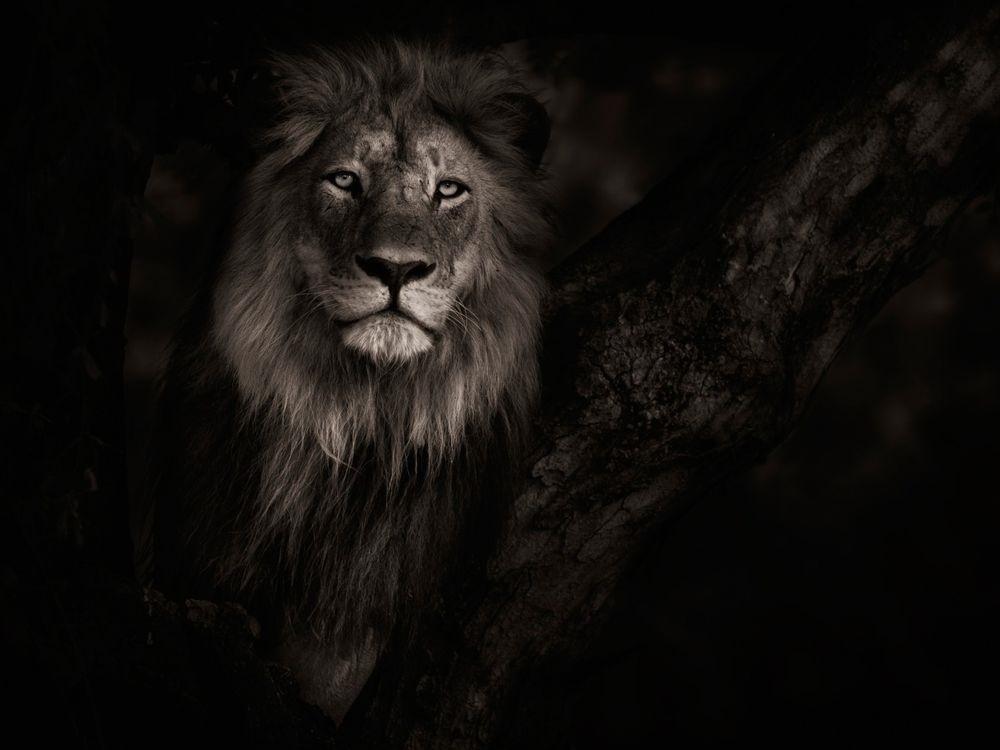 обои льва на айфон 6 007