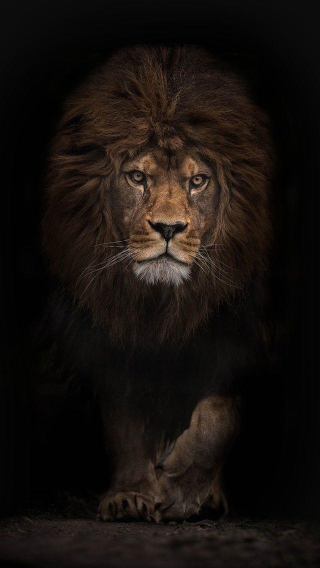 обои льва на айфон 6 009