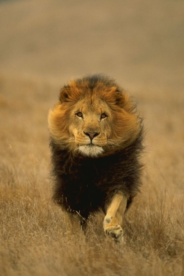 обои льва на айфон 6 014