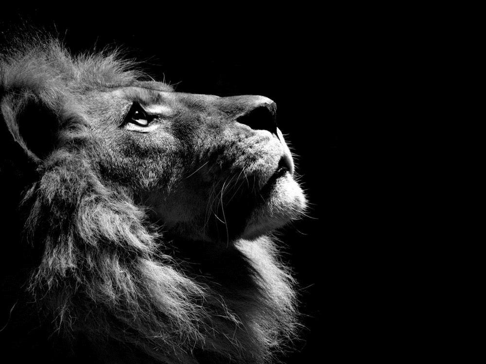 обои льва на айфон 6 015